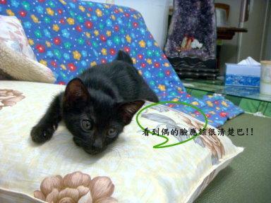 有青蛙睡姿的 短尾猫 黑 抠抠找新家