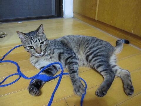 虎斑条纹_猫咪论坛台中市西屯区黑灰虎斑条纹猫送养